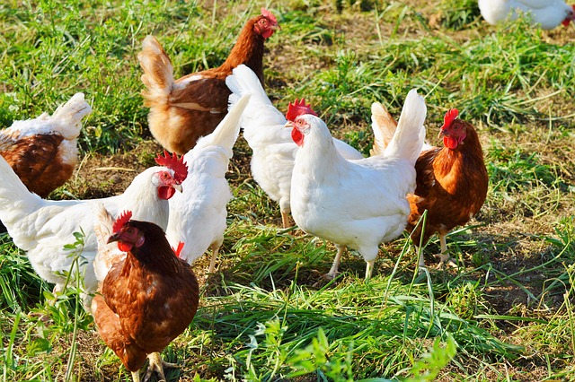 productivity-improvement-cost-reduction-in-poultry-farming